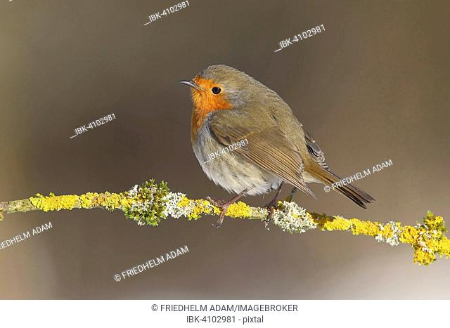 European Robin (Erithacus rubecula) on a lichen covered branch, Neunkirchen, Siegerland, North Rhine-Westphalia, Germany