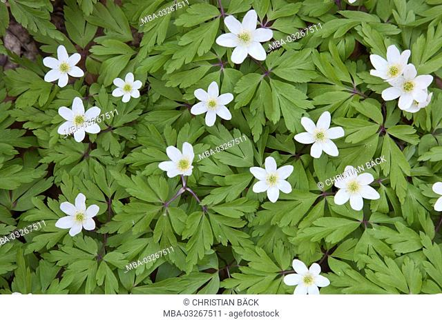Wood anemones in the spring