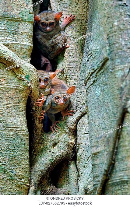 Tarsier family on the big tree. Spectral Tarsier