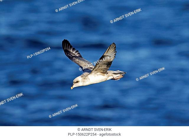 Northern fulmar / Arctic fulmar (Fulmarus glacialis) in flight above the sea