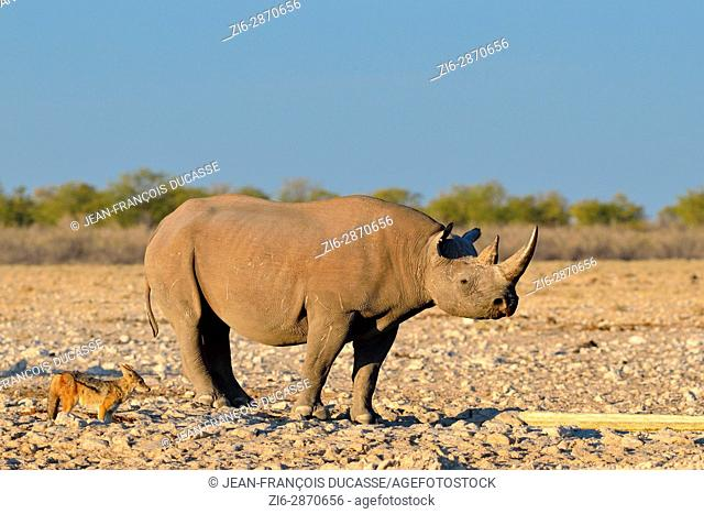 Black rhinoceros (Diceros bicornis) and black-backed jackal (Canis mesomelas) at waterhole, Etosha National Park, Namibia, Africa