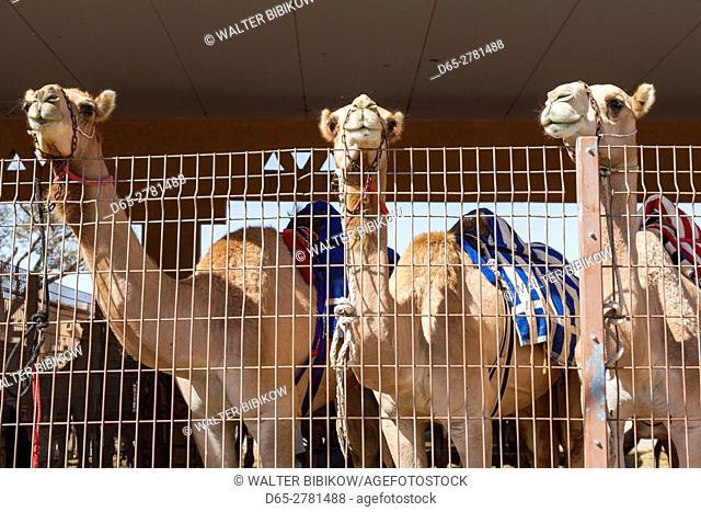 UAE, Al Ain, Jabel Hafeet, Al Ain Camel Market