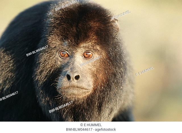 black howler Alouatta caraya, male, Brazil, Pantanal, Mato Grosso
