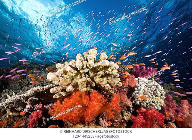 Colorful Coral Reef, Namena Marine Reserve, Fiji