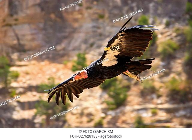 california condor gymnogyps grand canyon park