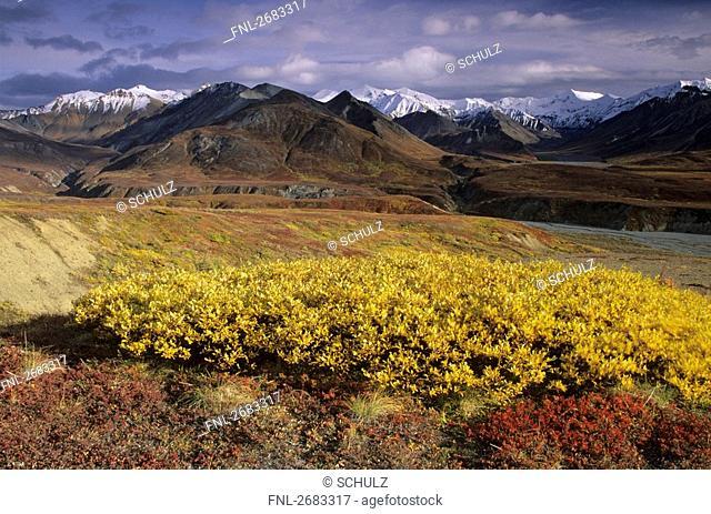 Arctic Willow Salix polaris and Alpine Bearberry Arctostaphylos alpinus in field, Denali National Park, Alaska, USA