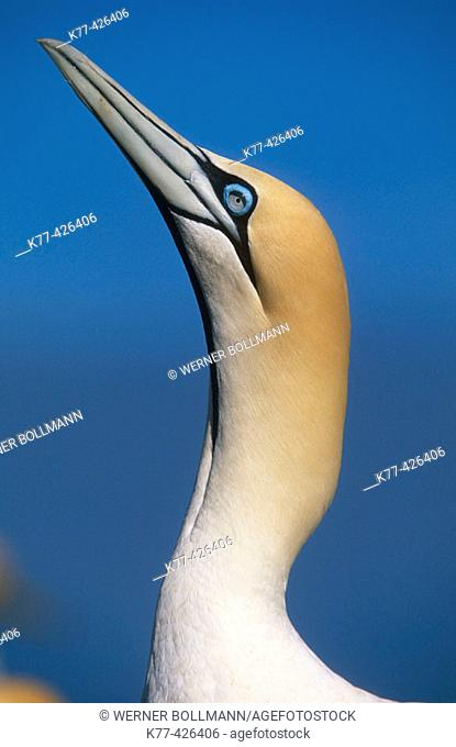 Cape Gannet. (Sula capensis). Lamberts Bay, South Africa