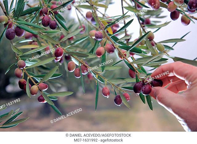 Cazalla olive trees, Andalucia, Spain