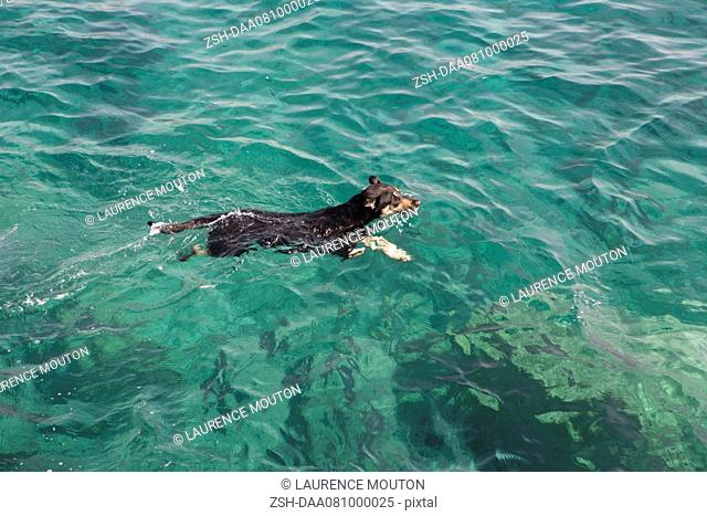 Jack Russell terrier swimming in ocean