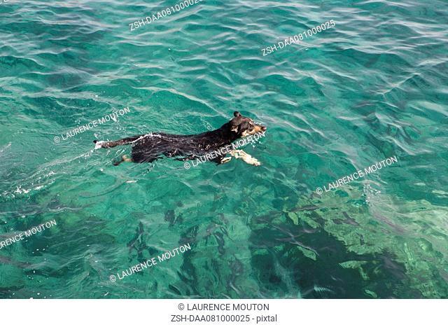 Jack Russell terrier swimming in ocean