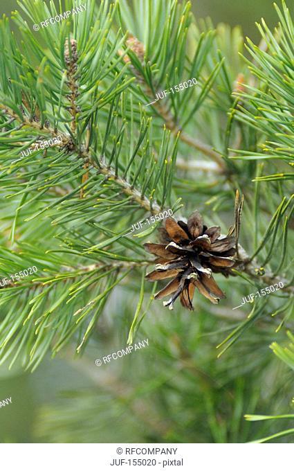 pine cone at pine tree