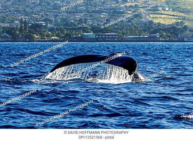 Humpback whale (Megaptera novaeangliae) fluke; Lahaina, Maui, Hawaii, United States of America