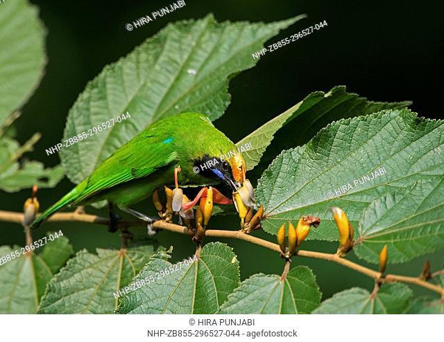 The image of Golden-fronted leafbird (Chloropsis aurifrons) in Dandeli wildlife sanctuary, Karnatka, India