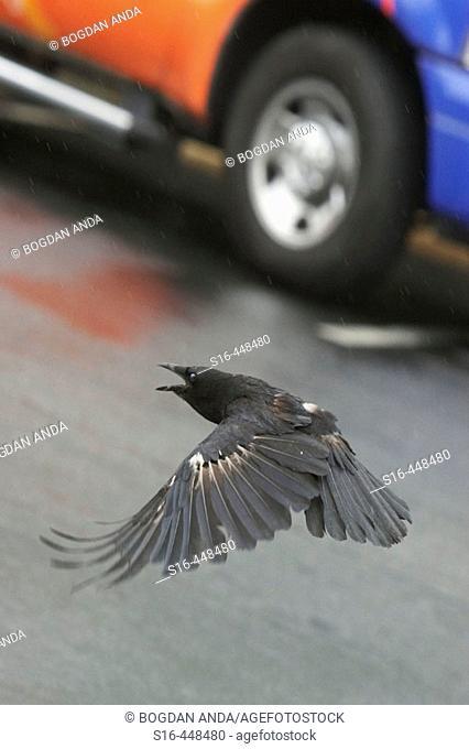 Seattle, WA, USA - Raven (Corvus corax) flying low through a parking area