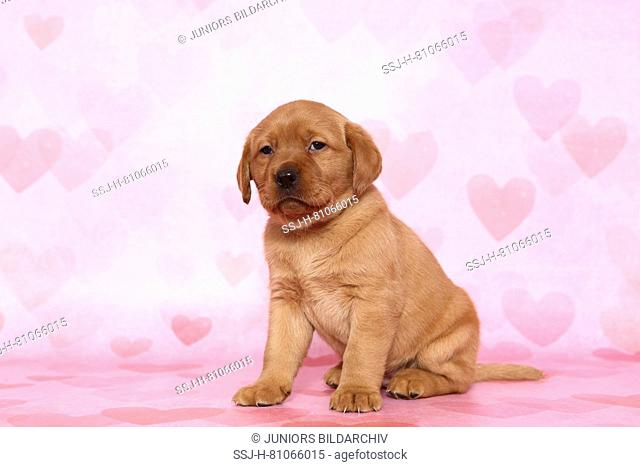 Labrador Retriever. Puppy (6 weeks old) sitting. Studio picture seen against a pink background with heart print. Germany