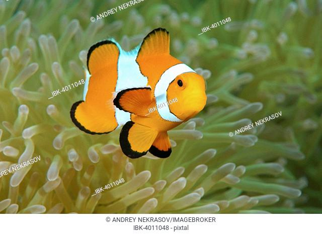 Orange Clownfish (Amphiprion percula), Bohol Sea, Philippines
