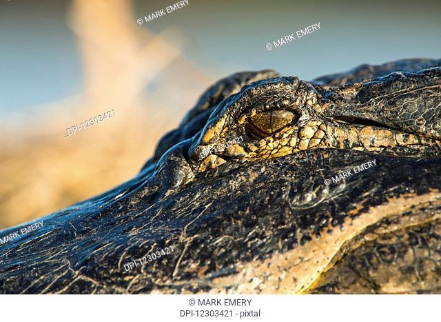 Alligator eye (Alligator mississippiensis); Gainesville, Florida, United States of America