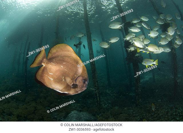 Golden Spadefish (Platax boersii) with school of Oriental Sweetlips (Plectorhinchus vittatus) and Lined Rabbitfish (Siganus lineatus) by pylons under jetty