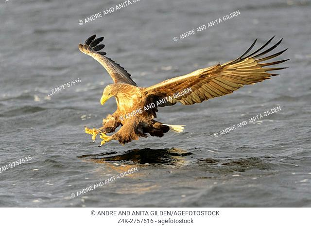 White-tailed Sea Eagle (Haliaeetus albicilla) catching fish, Norway