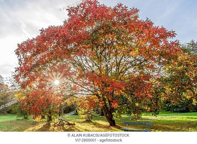 Potanin's lacquer tree