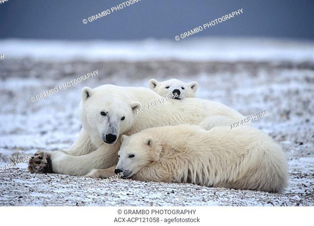 Polar bear mother and cubs, Ursus maritimus,resting, Churchill, Manitoba, Canada