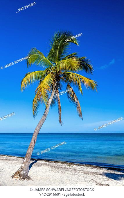 Palm trees on sandy Smathers Beach on the Atlantic Ocean in Key West Florida on a blue sky summer day with no people