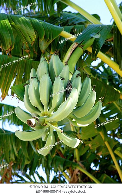 Bananas growing from tree, green color, tropical scene