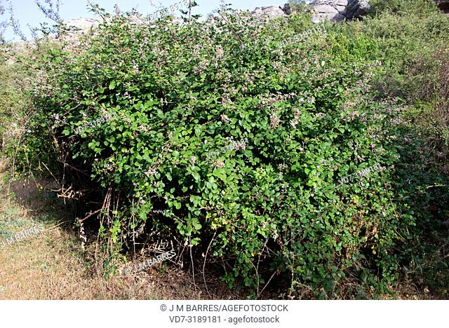 Elmleaf blackberry (Rubus ulmifolius) is a deciduous shrub native to Mediterranean Basin and United Kingdom. Its fruits (polydrupes) are edible