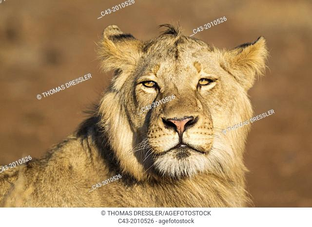 Lion (Panthera leo) - Subadult male with not yet fully developed mane observes his surroundings. Kruger National Park, South Africa