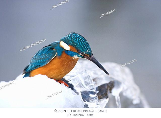 Common Kingfisher (Alcedo atthis) in winter on a perch, Germany
