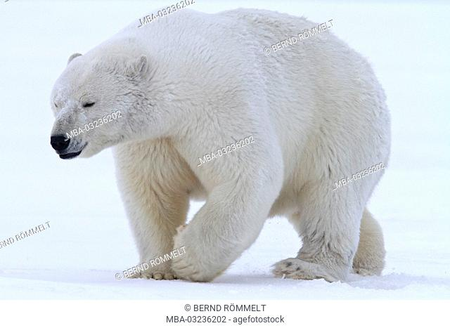 North America, the USA, Alaska, North Alaska, Arctic Nationwide Wildlife Refuge, Kaktovik, polar bear, Ursus maritimus