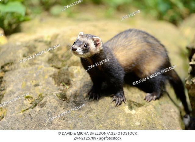 Close-up of an European polecat (Mustela putorius) standing in front of his cave