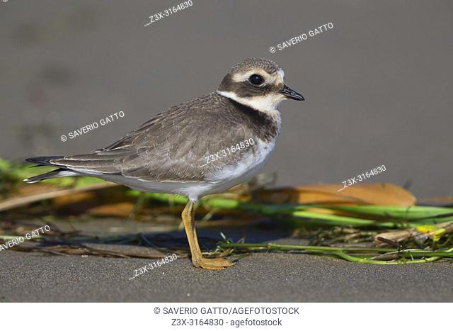 Ringed Plover, Juvenile standing on the beach, Campania, Italy (Charadrius hiaticula)