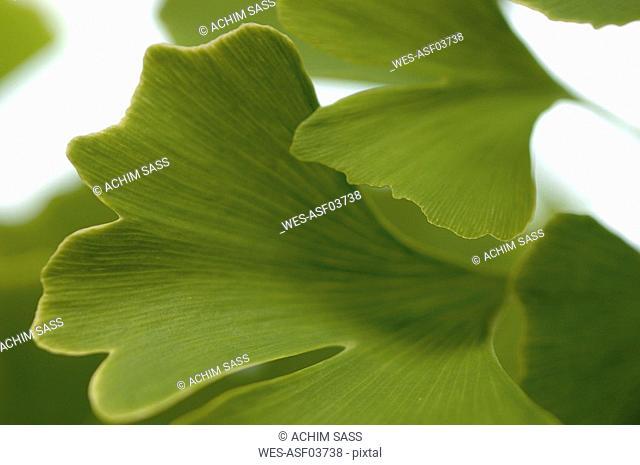 Gingko, Medicinal plant, leaves, close up