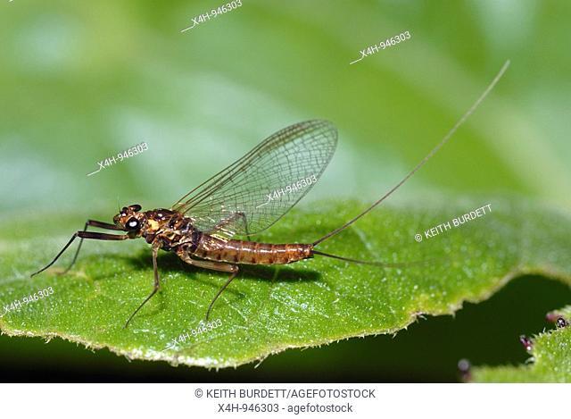 Mayfly, Ecdyonurus dispar