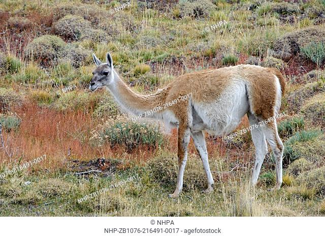 The guanaco is native to the arid, mountainous regions of South America. The adult stands between 3.5 and 4 feet at the shoulder and weighs about 200 pounds