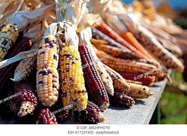Flint Corn at Harvest Time
