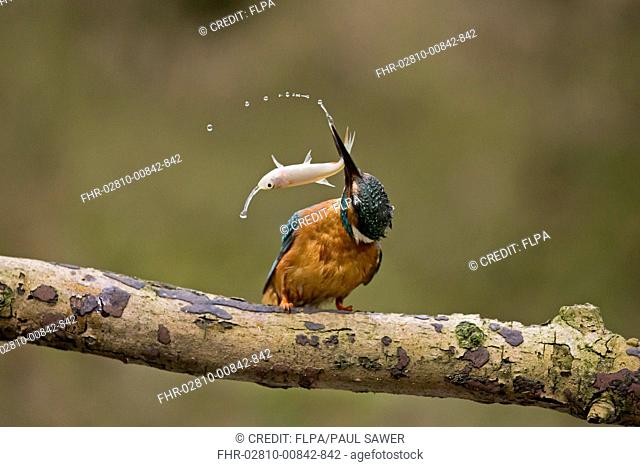 Common Kingfisher (Alcedo atthis) adult male, hitting Common Rudd (Scardinius erythrophthalmus) prey, perched on branch, Suffolk, England, May