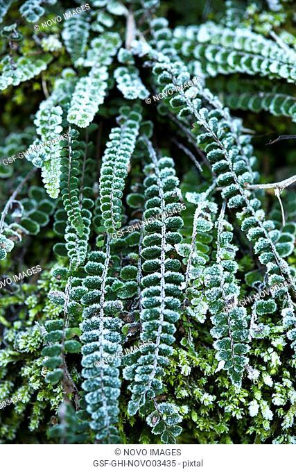 Frozen Green Ferns