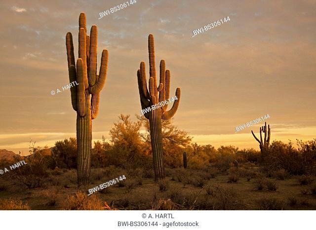 saguaro cactus (Carnegiea gigantea, Cereus giganteus), large individuals in evening light, USA, Arizona, Phoenix