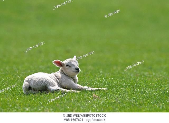A young lamb lying on the grass, domestic sheep, Ovis aries in a field in North Yorkshire, England