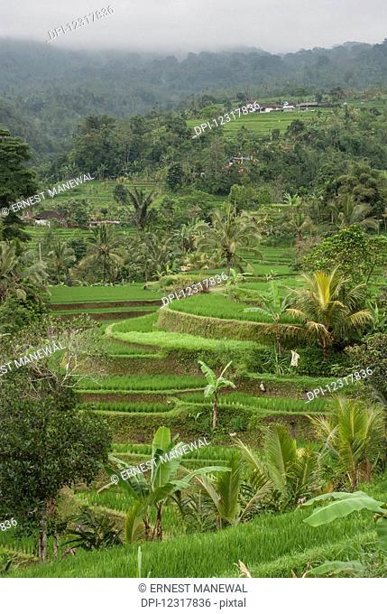 Bali rice terraces; Bali, Indonesia