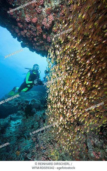 Pygmy Sweeper and Scuba Diver, Parapriacanthus, Ellaidhoo House Reef, North Ari Atoll, Maldives