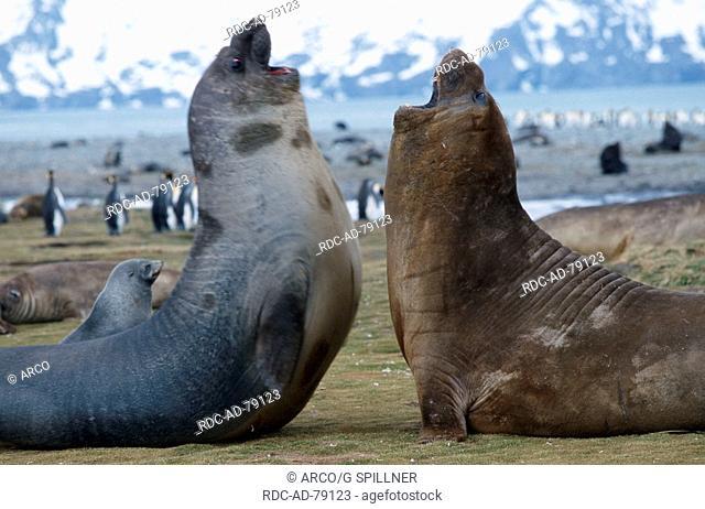 Southern Elephant Seals Sailsburgy Plains South Georgia Mirounga leonina side