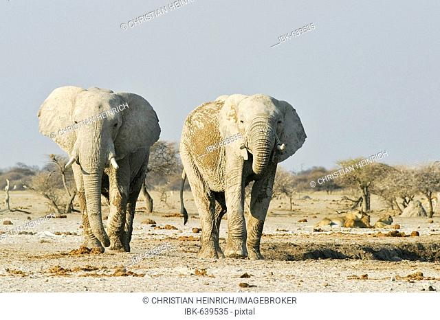 African Elephants (Loxodonta africana) and lions (Panthera leo) in the background, Nxai Pan, Makgadikgadi Pans National Park, Botswana, Africa