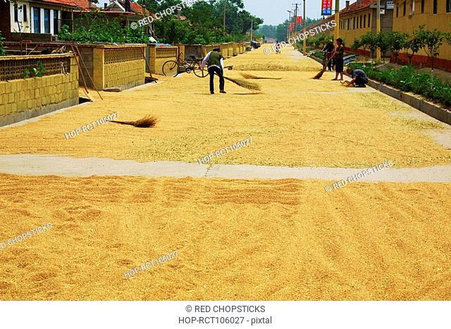 Farmer turning grain on road, Zhigou, Shandong Province, China