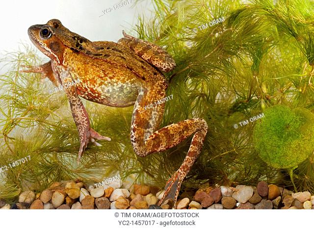 A Common Frog  Rana temporaria  swimming in an aquarium in the Uk