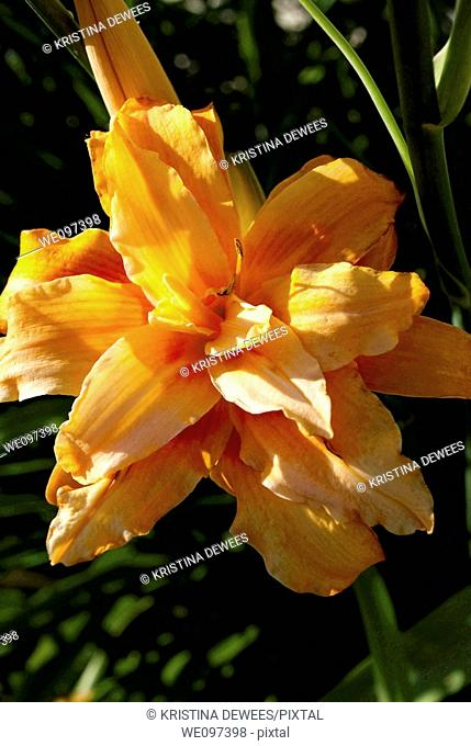 One orange double daylily in the light