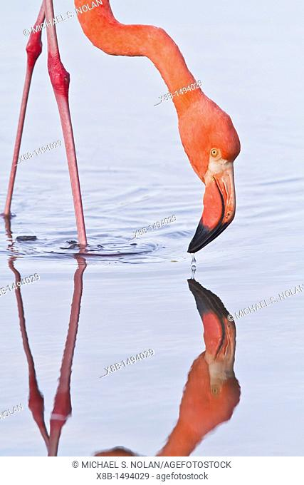 Greater flamingo Phoenicopterus ruber foraging for small pink shrimp Artemia salina in saltwater lagoon in the Galapagos Island Archipelago