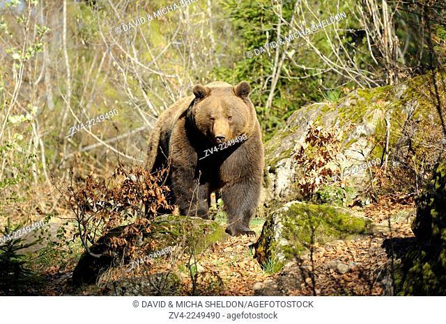 Close-up of a European brown bear (Ursus arctos arctos) in a forest in spring